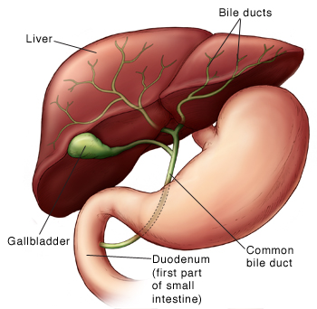 Front view of the liver, bile ducts, common bile duct, duodenum, and gallbladder.
