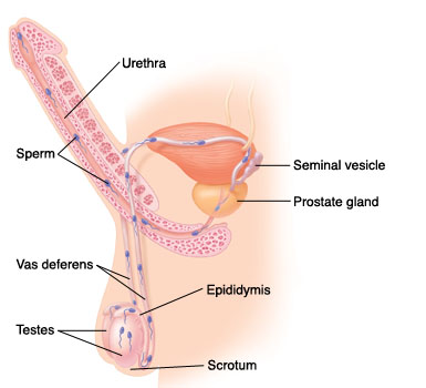 Penis and sperm and semen