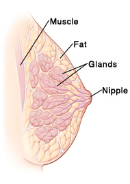 How breasts develop