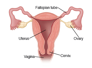 Trichomonas vaginal infection trichomoniasis image showing a cross section of the uterus with fallopian tubes ovaries ccuart Images