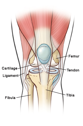 knee effusion, Human body