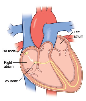 Image of heart showing SA node, AV node, and right and left atrium
