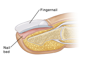If The Nail Bed Or Matrix Was Damaged May Grow Back With A Rough Abnormal Shape In Some Cases Not At All