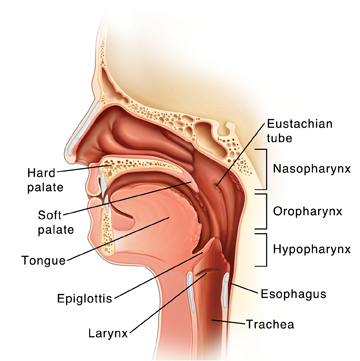 Parts Of The Throat And Neck