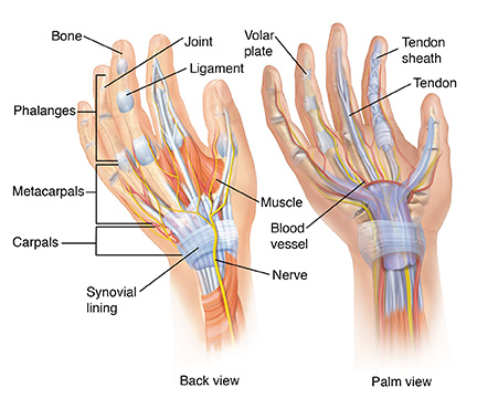 Parts of a Hand