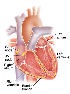 Your Heart S Electrical System