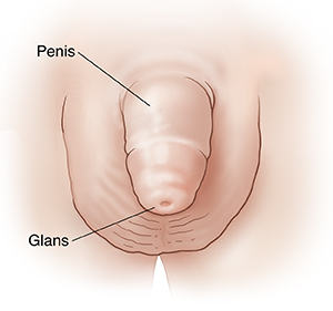 Front view of boy's penis, scrotum, and glans.