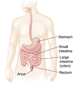 Outline of man showing gastrointestinal tract.