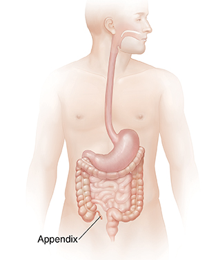 Male body showing digestive system.