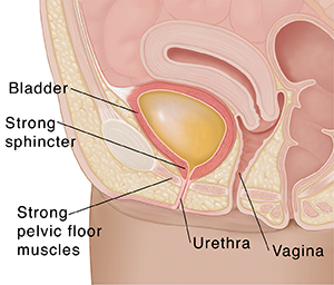 Closeup cross section of female pelvis showing bladder filled with urine.