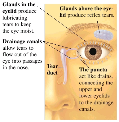 Front view of eye and nose showing glands above eye and in eyelid, and tear duct in nose. Glands in eyelid produce lubricating tears to keep eye moist. Drainage canals lead from eye to tear duct and allow tears to flow out of eye into passages in nose. Glands above eyelids produce reflex tears. Puncta are small holes in upper and lower eyelid at inside corner of eye. Puncta act like drains, connecting upper and lower eyelids to drainage canals.
