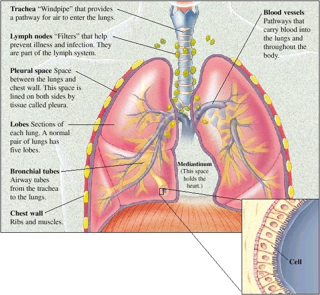 lung anatomy, Human Body