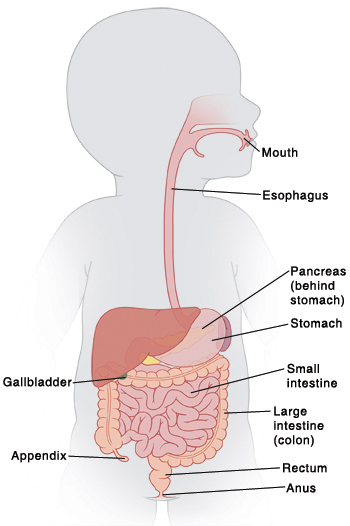 Anatomy Of The Pediatric Digestive System